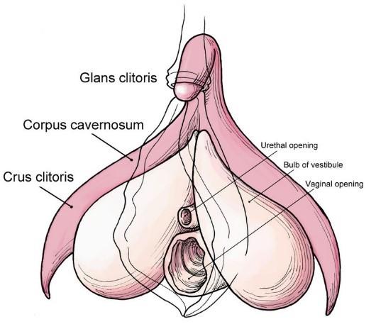 Clitoris size images